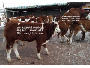 |肉牛|西门塔尔牛|肉牛价格|牛犊|牛犊价格|肉牛养殖|吉林肉牛|东北肉牛|母牛价格|西门塔尔牛价格