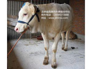 夏洛莱母牛