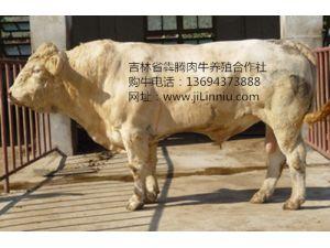 夏洛莱公牛