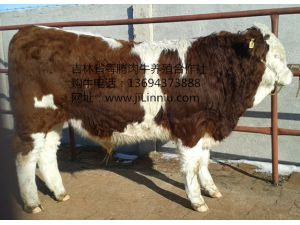 西门塔尔种公牛